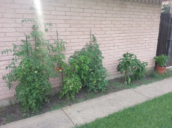 tomato plants on the left, basil on the far right
